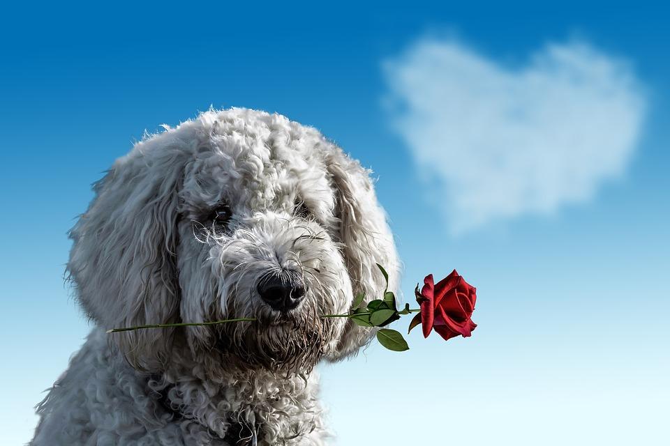 pes. ruža, darovanie